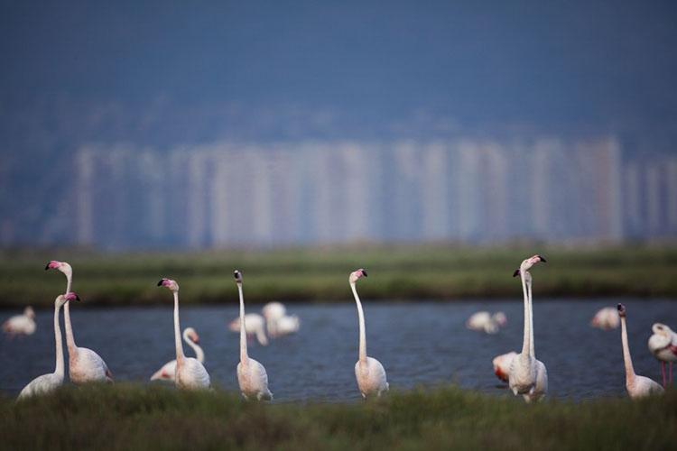 Flamingolar için, İzmir Körfez Geçişi iptal edildi